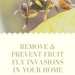 Close up of a fruit fly - how to remove and prevent fruit fly in your home