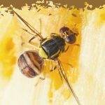 close up of a fruit fly eating jackfruit - rid fruitfly from your home
